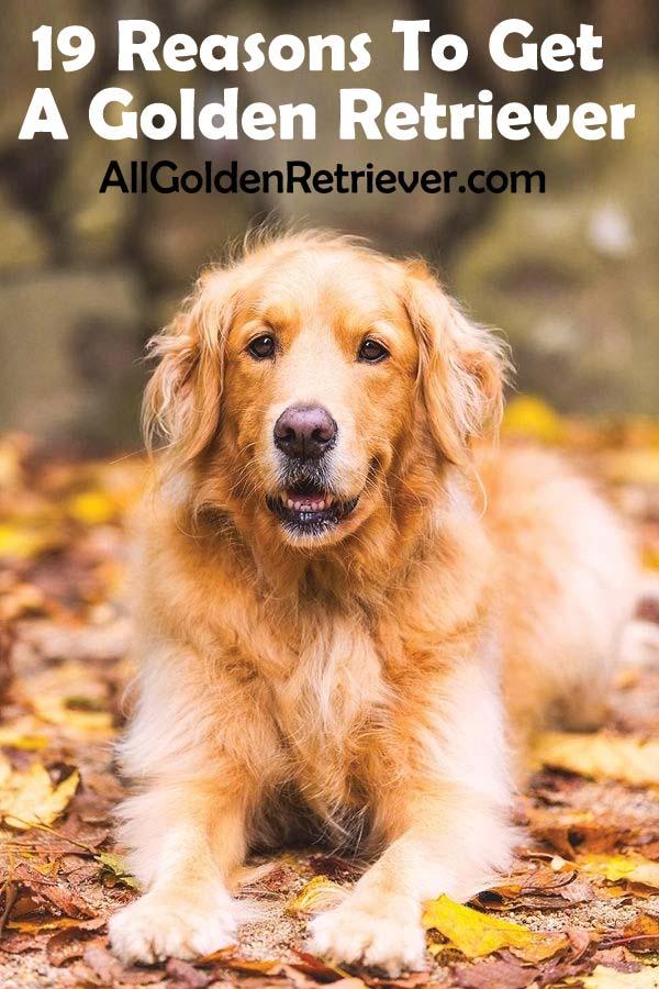 19 Reasons To Get A Golden Retriever