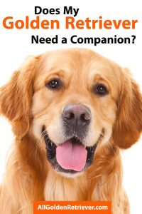 Does My Golden Retriever Need a Companion