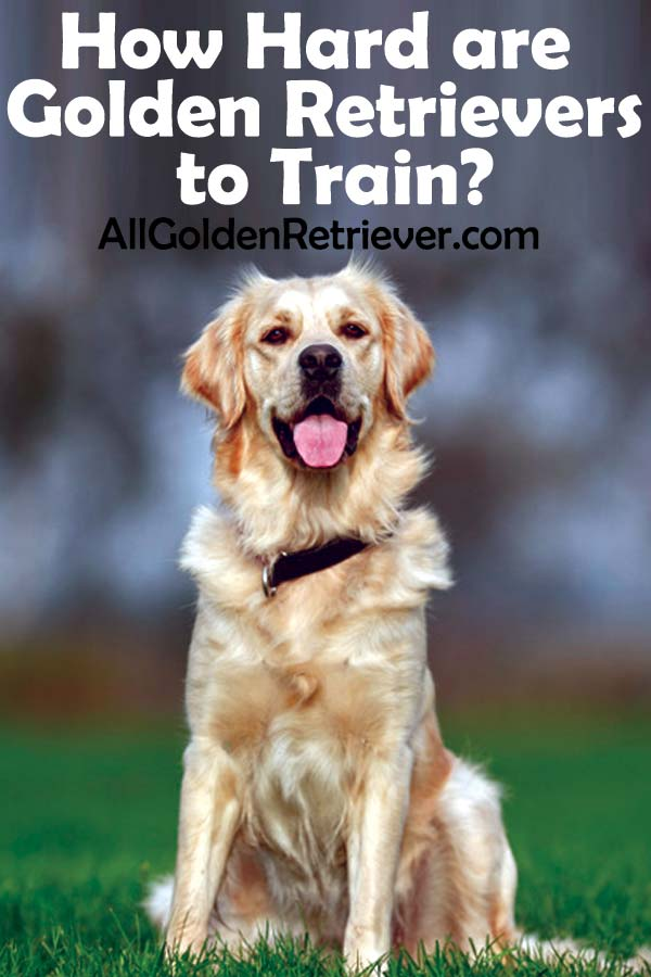 How Hard are Golden Retrievers to Train
