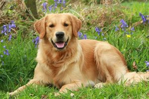 15 Reasons Golden Retrievers Are the BEST Dogs Ever