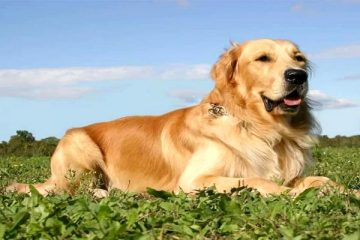 Can You Stop Golden Retrievers from Shedding