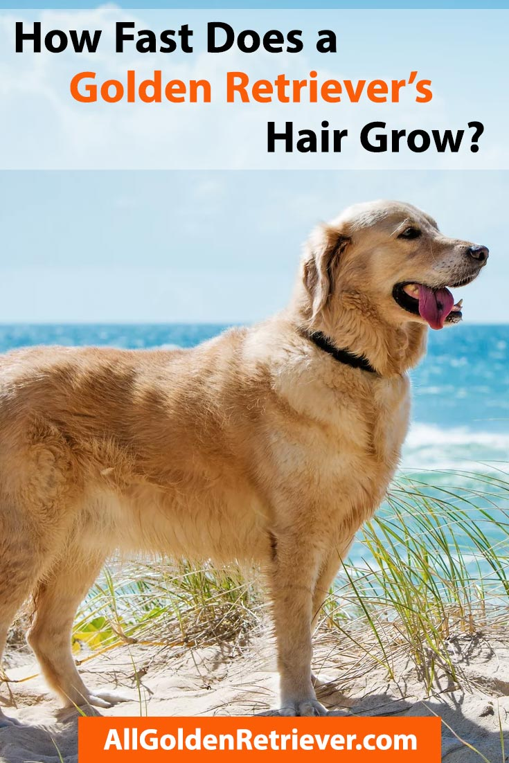 How Fast Does a Golden Retriever's Hair Grow
