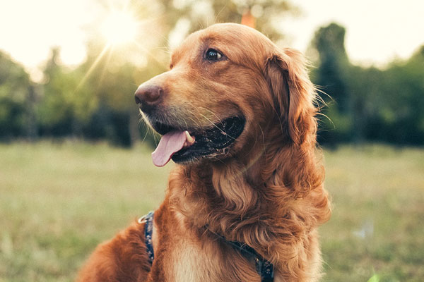 What Are the 3 Types of Golden Retrievers