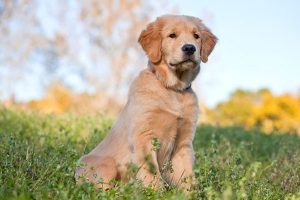 What to Breed a Golden Retriever With