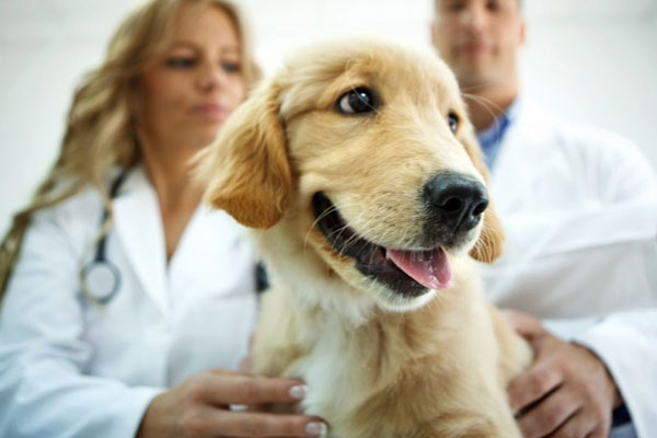 When to Neuter or Breed Your Golden Retriever