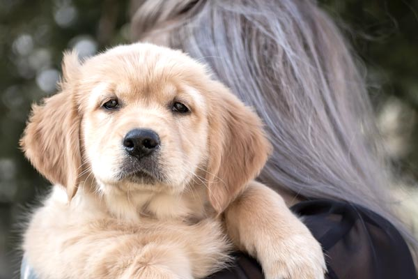 18 Things You Need for Your Golden Retriever Puppy