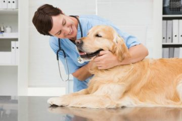 How Often Do Golden Retrievers Need to Go to The Vet