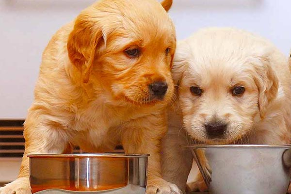 Top 32 Foods for Your Golden Retriever at All Ages