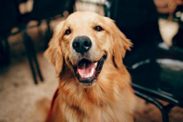 Traveling with a Golden Retriever