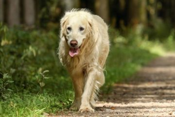 Are Golden Retrievers Good Hiking Dogs