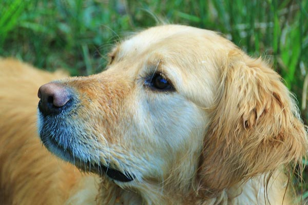 How To Clean Your Golden Retriever's Ears