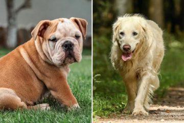 Golden Retriever Bulldog Mix